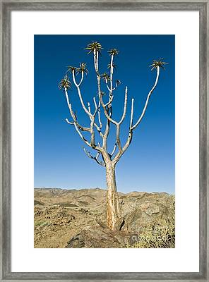 Quiver Tree Framed Print