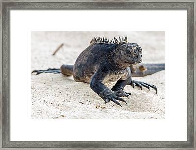 Rabida Marine Iguana Framed Print by Harry Strharsky