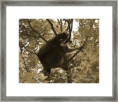 Raccoon  Framed Print by Janice Spivey