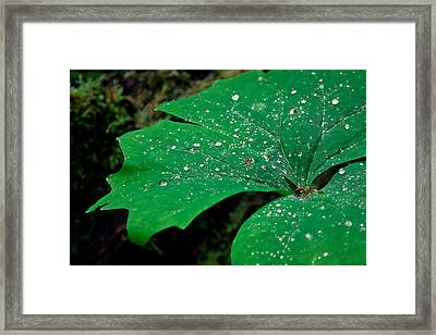 Rain Drops On Vanilla Leaf Framed Print by Jonathan Hansen