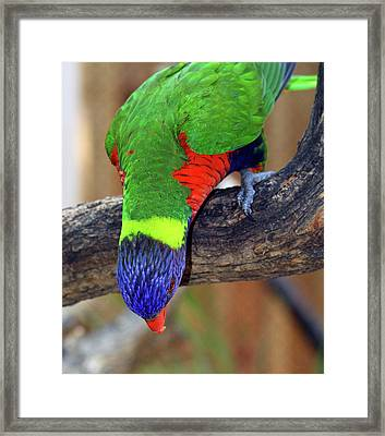 Rainbow Lorikeet Framed Print by Inspirational Photo Creations Audrey Woods