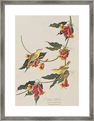 Rathbone Warbler Framed Print by John James Audubon