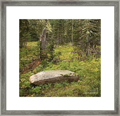 Rebirth In Montana Forest Framed Print by Matt Tilghman
