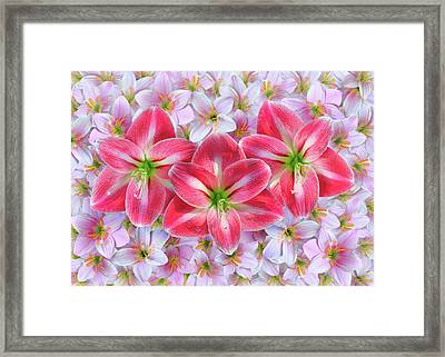 Red Amaryllis Framed Print by Edwin Verin