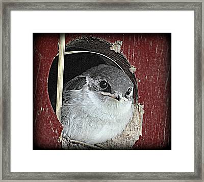 Red Barn Birdie Framed Print