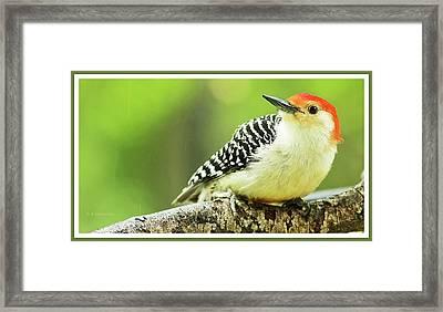 Red Bellied Woodpecker, Male, Animal Portrait Framed Print
