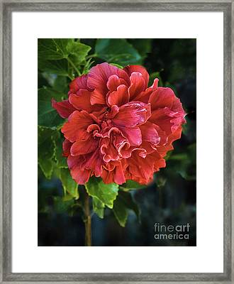 Red Double Hibiscus Framed Print by Robert Bales