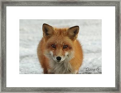 Red Fox Framed Print by Diane Giurco