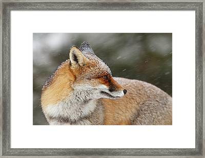 Red Fox In A Snow Storm Framed Print by Roeselien Raimond