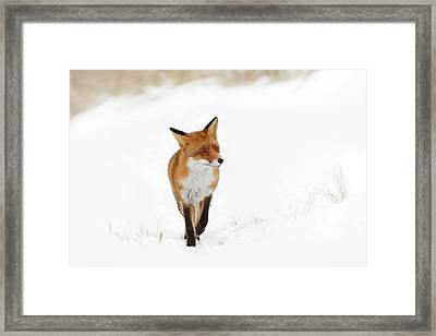 Red Fox In A White Winter Wonderland Framed Print
