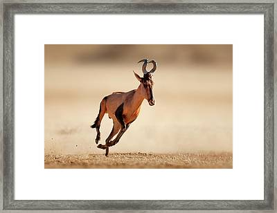 Red Hartebeest Running Framed Print