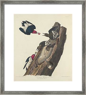 Red-headed Woodpecker Framed Print by Rob Dreyer