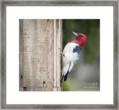 Red-headed Woodpecker Framed Print by Ricky L Jones
