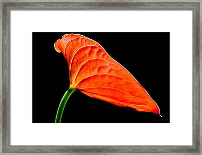 red Lily blossom Framed Print