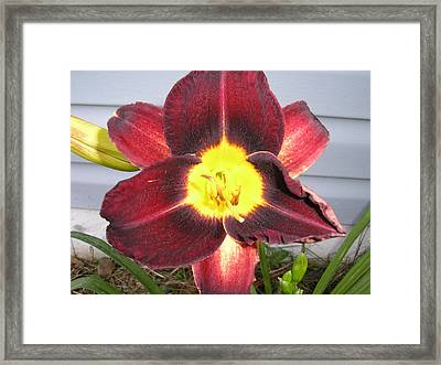 Red Lily Framed Print by Tina Antoniades