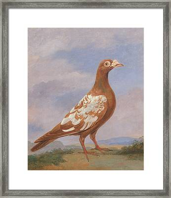 Red Pied Carrier Framed Print