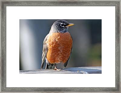 Red Robin Framed Print by Teresa Blanton