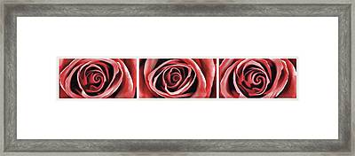 Red Rose 1 Framed Print by Lanjee Chee