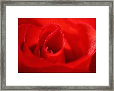Red Rose Framed Print by Svetlana Sewell