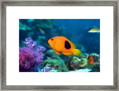 Red Saddleback Anemonefish And Soft Coral Framed Print