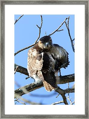 Red Tail Framed Print by David Yunker