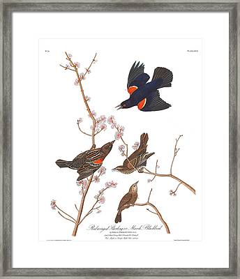Red-winged Starling Framed Print