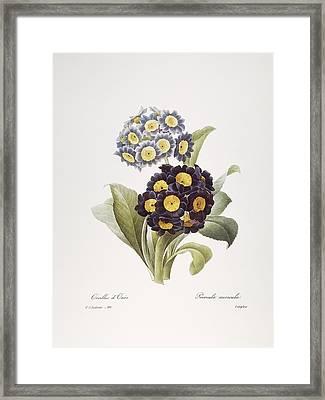 Redoute: Auricula, 1833 Framed Print by Granger