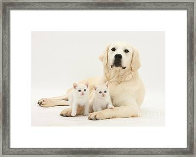 Retriever With Friendly Kittens Framed Print by Mark Taylor