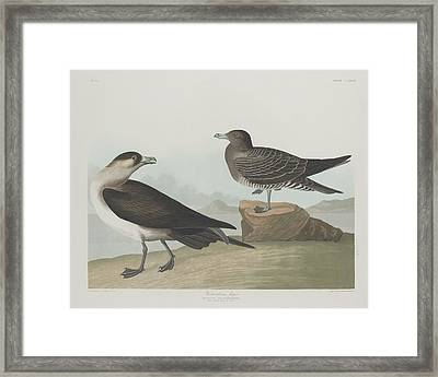 Richardson's Jager Framed Print by Dreyer Wildlife Print Collections