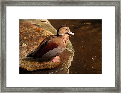 Framed Print featuring the photograph Ringed Teal On A Rock by Chris Flees