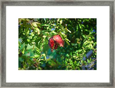 Ripe Pomegranate On The Tree In Jerusalem During Sukkoth Framed Print