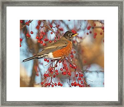 Framed Print featuring the photograph Robin.. by Nina Stavlund