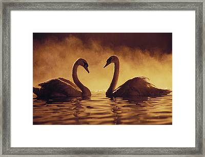 Romantic African Swans Framed Print