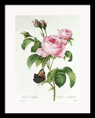 Roses In Bud Framed Prints