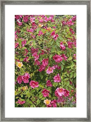 Rosa X Odorata Mutabilis Framed Print by Geoff Kidd