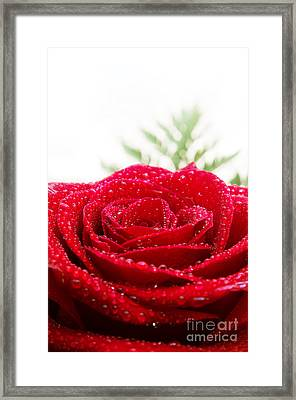 Rose And Drops Framed Print