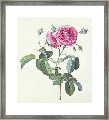 Rose  Dutch Hundred-leaved Rose Framed Print
