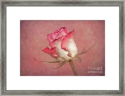 Rose II. Framed Print by Robert Brown