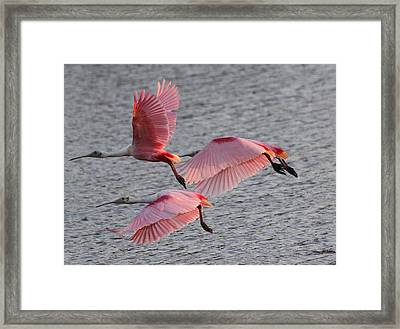 Roseate Spoonbill Framed Print by Jeanne Andrews
