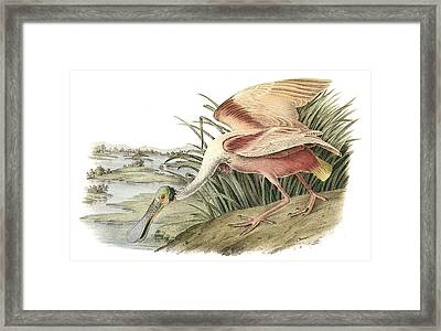 Roseate Spoonbill Framed Print by John James Audubon