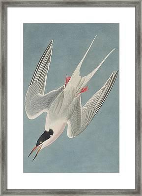 Roseate Tern Framed Print by John James Audubon