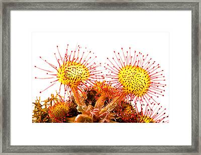 Round-leaved Sundew Drosera Rotundifolia Framed Print by Gabor Pozsgai