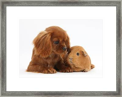 Ruby Cavalier King Charles Spaniel Pup Framed Print by Mark Taylor