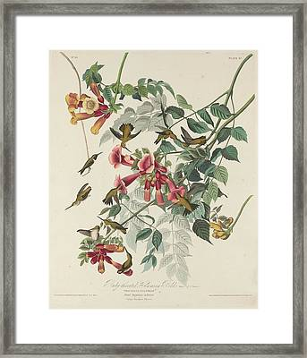 Ruby-throated Hummingbird Framed Print by Anton Oreshkin