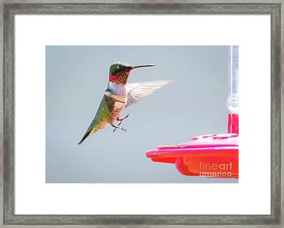 Ruby-throated Hummingbird  Framed Print by Ricky L Jones