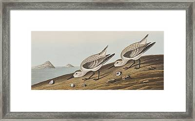 Ruddy Plover Framed Print by John James Audubon