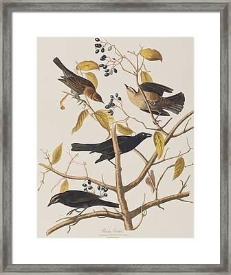 Rusty Grackle Framed Print by John James Audubon