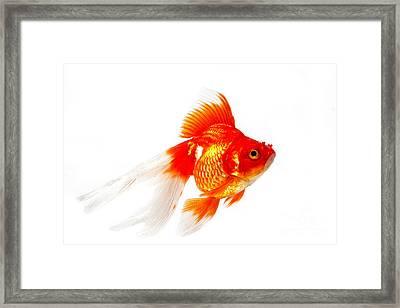 Ryukin Goldfish Carassius Auratus Framed Print by Gerard Lacz