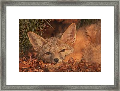 San Joaquin Kit Fox  Framed Print