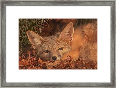San Joaquin Kit Fox  Framed Print by Brian Cross